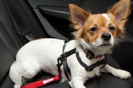 Cinto de segurança para cachorros, trazem segurança além de evitar multas